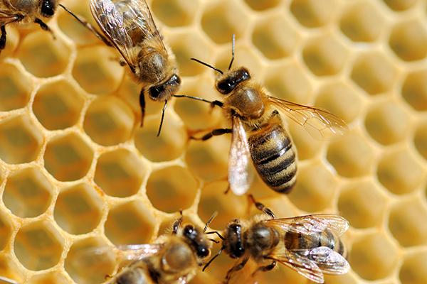 healthy honeybees