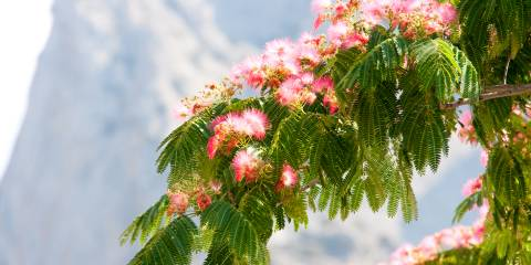 A Persian silk tree in bloom