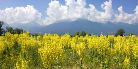 a field of mullein in the clean blue sky