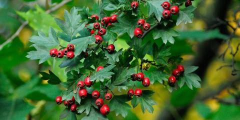 A sprig of wild hawthorn berries