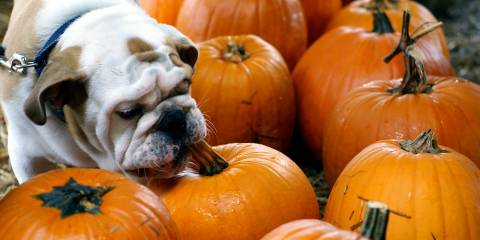 Dog Eating Pumpkin