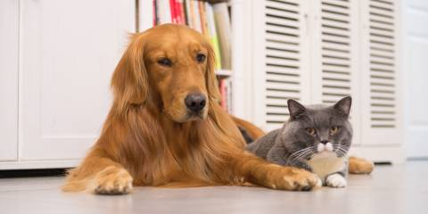 An adult golden retriever lying with an adult gray and white cat. Indoors.