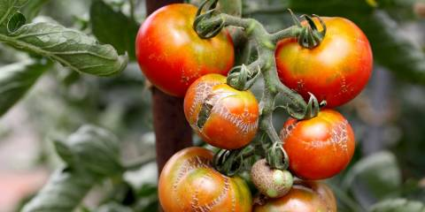 A tomato plant withering