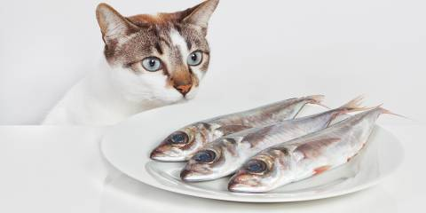 A hungry cat staring at a plate of fish