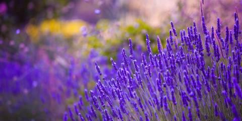 lavender growing in a garden or field