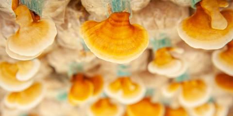 a reishi mushroom farm for cultivating mycelium