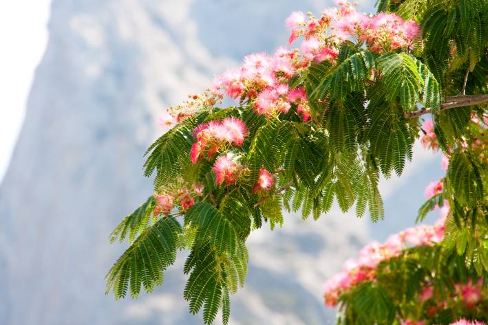 A Persian silk tree in bloom.