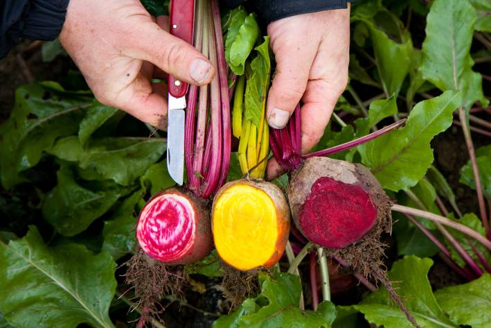 Three different varieties of beets, sliced open in the field to view details.