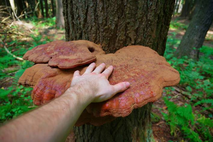 A man's hand on a mature wild Reishi mushroom growing on a tree in the forest.