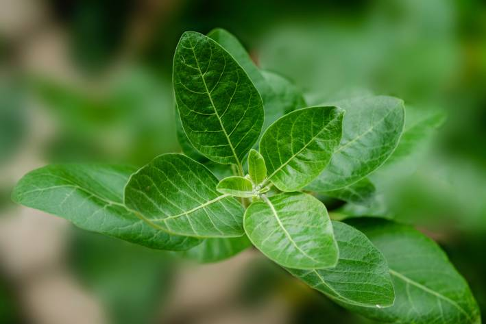 Ashwagandh, also known as winter cherry, growing in the wild