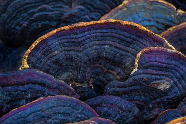 meshima mushroom growing in the wild
