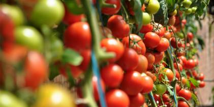 Harvest the Benefits of Tomatoes
