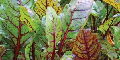 fresh organic beet greens