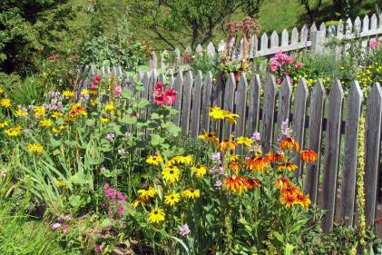 Organic gardening with annual flowers around wooden border.