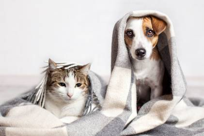 A Jack Russell Terrier with a white and tabby cat underneath a gray and white blanket.