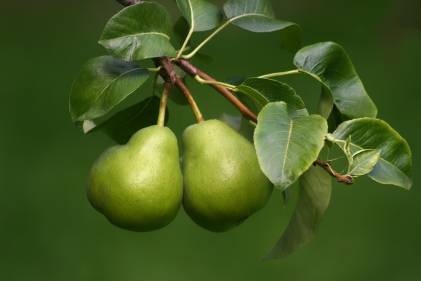Two ripe pears hanging on the branch