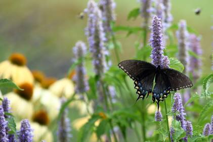 Anise Hyssop with a swallowtail butterfly on it.