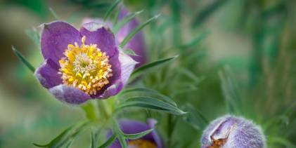 Pulsatilla in bloom.