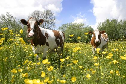 Brown and white cows in a field of yellow buttercups.