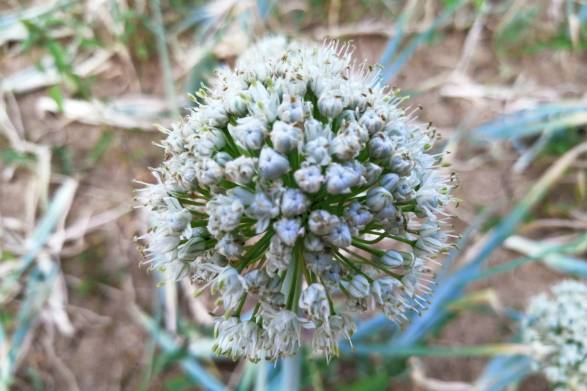 the flower of an onion plant